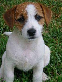 Jack Russel Terrier; My buddy (aka Little Buddy Jack)