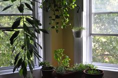 avocado tree and herbs in living room