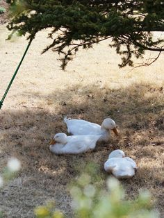 春になって暖かい日が増え、アヒル隊もとても楽しそうです。今日は木陰でお昼寝^^
