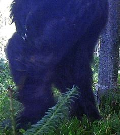 Could this be a real bigfoot captured on a trail camera in New Hampshire. Estimated to be around 9 foot tall. Real Bigfoot, Finding Bigfoot, Bigfoot Sasquatch, Bigfoot Pictures, Bigfoot Pics, Bigfoot Captured, Bigfoot Stories, Pie Grande, Creepy