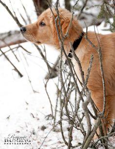 Golden Retriever in the snow ~chicagobrunette~