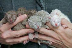 img_base Selkirk Rex, Devon Rex, Poodle, Rex Cat, American Shorthair, Cat Breeds, Animal Shelter, Cuddling, Animal Shelters