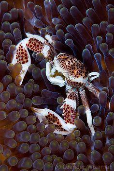 Porcelain Crab by Layang Layang by lndr, via Flickr