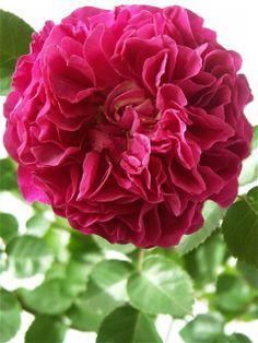 Marquise de Merteuil et Cecil de Volanges。 : Under the Rose。