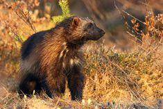 Wolverine (Gulo gulo). Finland. Photo by Agustín Povedano (at https://www.flickr.com/photos/decadiz/18923309702/).