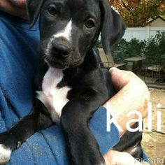 Kali (4 pups) is an adoptable Labrador Retriever, American Staffordshire Terrier Dog in Flushing, NY This little 7 week old hound/pit mix charmers know they got it and they are not afraid to flaun ... ...Read more about me on @petfinder.com
