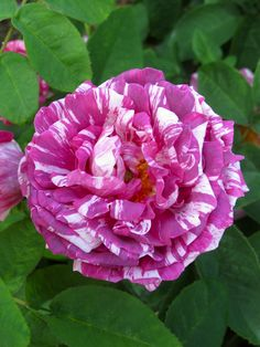 Striped rose 'Camaieux'