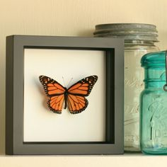 Real Framed Monarch Butterfly Display by BugUnderGlass on Etsy