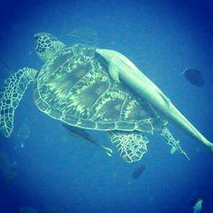 #PADI #Cute #Scuba green sea turtle! I saw 2 in Honduras!
