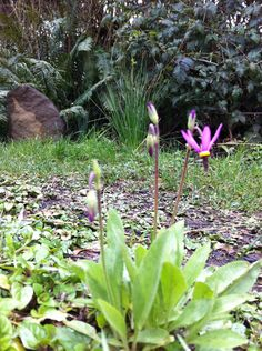 Dodecatheon sp.  Shooting star in my yard.  love. <3