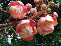 The Cannonball Tree - Couroupita guianensis - Flower Images Taken Today