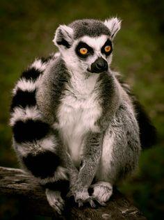 Ring-tailed Lemur (Lemur catta). A primate endemic to Madagascar. photo: Steve Wilson.