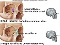 Lecture Axial Skeleton II and Appendicular Skeleton Axial Skeleton, Human Skeleton, Anatomy Head, Forensic Anthropology, Nursing Tips, Internal Medicine, Medical Science, Anatomy And Physiology, Forensics