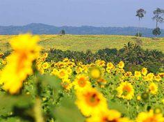 ทุ่งทานตะวันบึงสามพันปลูกทานตะวันบนภูเขาหลวง เมื่อดอกทานตะวันบานเต็มขุนเขา สวยงามไม่แพ้ที่ใด http://www.remawadee.com/pedchaboon/Bungsampan.html…