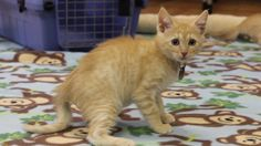 What's a little wobbling among friends? These three kittens at @Best Friends Animal Society - Utah have Cerebellar Hypoplasia, which causes a little trouble with coordination — but that isn't going to stop them from living full and happy lives! Watch these little goofballs romp and play, then SHARE to help Save Them All!