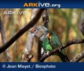 Cape parrot perched on branch Parrot Perch, Cape, Birds, Animals, Reading, Mantle, Cabo, Animales, Animaux