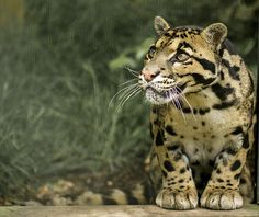 whispers-of-the-wild:    Clouded Leopard  By:wwmike