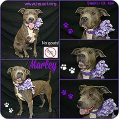 Plano, TX - American Pit Bull Terrier Mix. Meet Marley a Dog for Adoption. This dog is available to rescue, foster or adopt. If you are interested in this animal, please begin by filling out our online application which can be accessed through our website at www.hsccl.org/Adoption_Application.html and we will contact you. Find us on Facebook @ https://www.facebook.com/pages/Humane-Society-of-Cedar-Creek-Lake/155194581183469?sk=wall.
