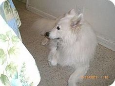Check out Haley's profile on AllPaws.com and help her get adopted! Haley is an adorable Dog that needs a new home. https://www.allpaws.com/adopt-a-dog/samoyed/1566374?social_ref=pinterest