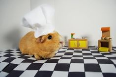 Lemoney is inching closer to her culinary degree. | What Guinea Pigs Have Been Up To This Year