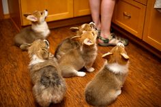 5 Things You Didn't Know About Pembroke Welsh Corgis  Pembrokes are known as the tailless of the two Corgi breeds and although they come from the similar backgrounds, they're two separate breeds entirely. Pembrokes are becoming increasingly popular due to their adorable looks and charismatic personalities, so we'd thought you'd like to know a little more about them!   Read more at http://iheartdogs.com/5-things-you-didnt-know-about-pembroke-welsh-corgis/#1RtRKz7pYWoKxdBq.99
