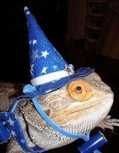 birthday bearded dragon - Google Search