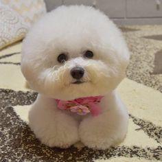 """1,027 Likes, 177 Comments - Yasuko (@asti1110) on Instagram: """"可愛く撮れたからもういっちょ さっきと同じ顔だけどね…(笑) ふわふわのまま年越せるかな〜? #dog #bichon #bichonfrise #ビション #ビションフリーゼ…"""""""