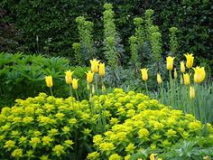 cottage garden. Love the combination of euphorbia and tulips! Must try this at Tiritiri .