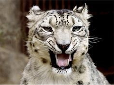 Snow Leopards Need Urgent Attention To Keep Them From Getting Killed Off For Good