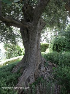 An ancient Olive tree in the Provencale garden of the Villa Ephrussi de Rothschild,Saint-Jean-Cap-Ferrat, French Riviera, Cote D'Azur.