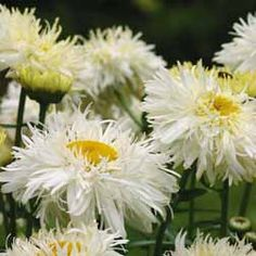 Leucanthemum 'Crazy Daisy' - Flowers For Cutting Plants - Van Meuwen    Leucanthemum 'Crazy Daisy' (Shasta Daisy) Hardy Perennial Large double white daisy-like blooms all summer. Height 75cm.