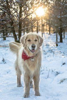 Remove All The STRESS of Owning a Golden Retriever: Dog Behaviour Breakthrough!!! - golden retriever #goldenretriever