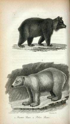 1. Brown Bear; 2. Polar Bear. (1826-1828)