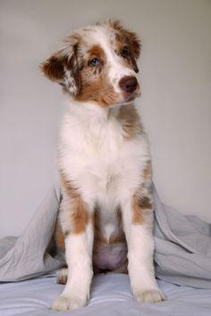 So cute @yummypets #mallia #australian #shepherd