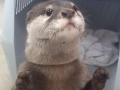 Watch This Otter Hack A Vending Machine