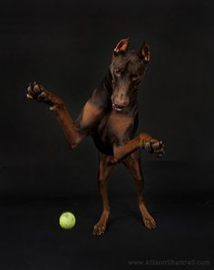 Adorable #Doberman playing fetch! (Photo by http://www.allisonshamrell.com)