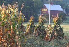corn shocks drying