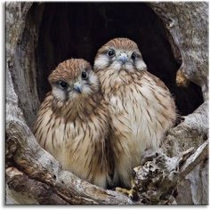 Nankeen Kestrel youngsters