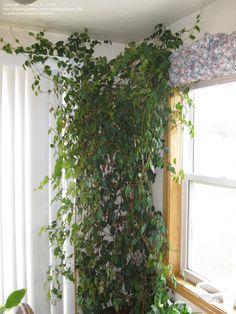 Photo of Grape Ivy, Oak Leaf Ivy (Cissus rhombifolia)