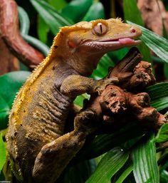 Crested Gecko Female (by nakkimo)