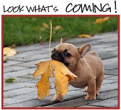 adorable fall french bulldog
