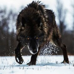 Black Timber Wolf ♥♥   Photo by @sj_nate #Destination_wild