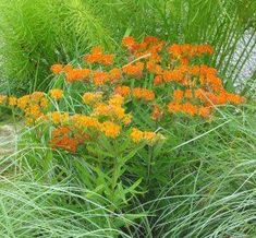 Asclepias tuberosa Butterfly Weed from American Beauties Full Sun Perennials, Best Perennials, Flowers Perennials, Planting Flowers, Flower Gardening, Butterfly Garden Plants, Butterfly Weed, Border Plants, Landscaping With Rocks