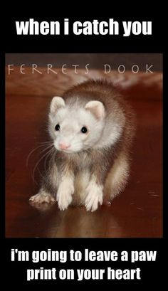 I cant wait to get a ferret