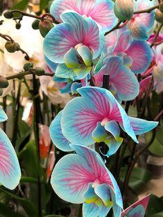 Ce n'est pas une plante artificielle mais belle et bien une potée de phalaenopsis bien vivant, avec de vraies fleurs. Mais avec des couleurs ô combien trafiquées pour donner cet ensemble pour le moins surprenant. #exoticflowersandplants #exoticflowerscolorful #exoticflowersbirdofparadise