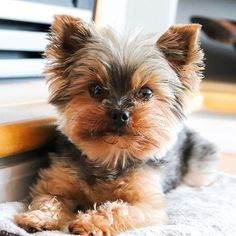 Loving and Caring Yorkie Puppies for sale | terrierpupsforhomes.com Monkeys For Sale, Morkie Puppies For Sale, Birds For Sale, Teacup Yorkie, Puppy Names, Shih Tzu Puppy, Therapy Dogs, New Puppy, Pet Store