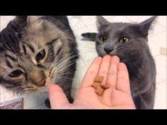 My cats trying Purina Beyond Dry Food and Iams Treats
