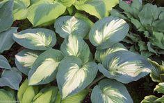 New Hosta Hudson Bay  ®   stunning garden plant