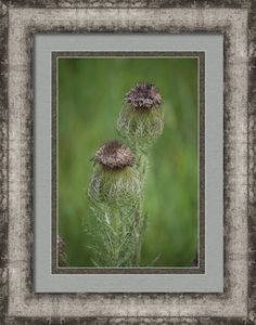 Thistle Framed Print By Leanne Blackwell