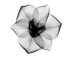 Image result for rose x-ray